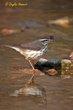 Louisiana Waterthrush (02).jpg