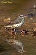 Louisiana Waterthrush (03).jpg