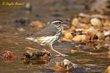 Louisiana Waterthrush (04).jpg