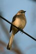 Northern Mockingbird (02).jpg