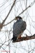 Peregrine Falcon (02).jpg