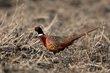 Ring-necked Pheasant (01).jpg