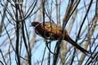 Ring-necked Pheasant (02).jpg