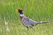 Ring-necked Pheasant (03).jpg
