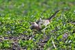 Ring-necked Pheasant (female) (01).jpg