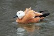 Ruddy Shelduck.jpg