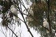 Sulphur-crested Cockatoo (02).jpg