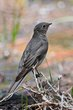 Townsends Solitaire (01).jpg
