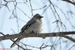 Townsends Solitaire (03).jpg