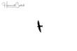 White-collared Swift (01).jpg