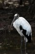 Wood Stork (02).jpg