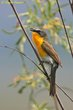 Yellow-breasted Chat (01).jpg