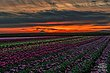 Tulip Fields Sunrise.jpg