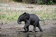 Baby elephant Chobe Botswana.jpg