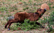 baby buffalo scratching stomach .jpg