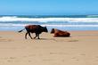 Nguni cattle 3.jpg