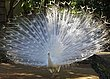 Albino Peacock.jpg