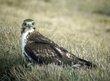 Alert Falcon.jpg