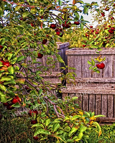 Apple Orchard Harvest - AME-0013.jpg