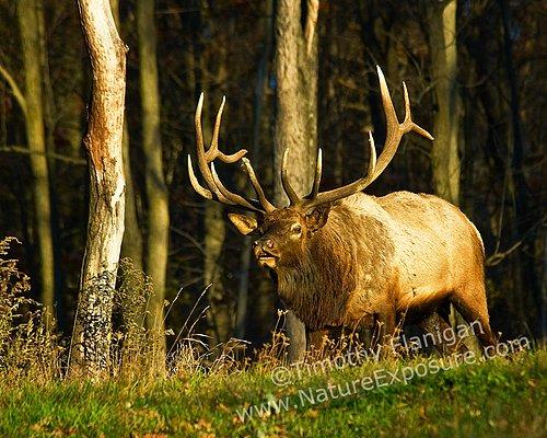 Big Bull - ELK-0020.jpg