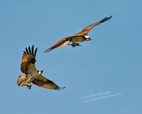 Adding Nest Material Ospreys - RAPOS-0016.jpg