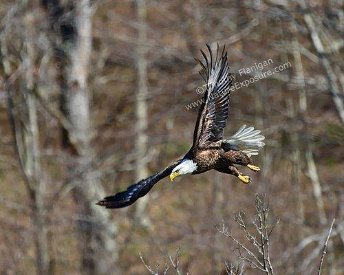 Bald Eagle Diving - RAPEG-0016.jpg