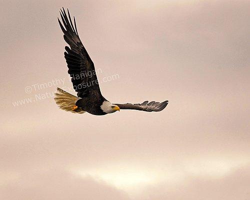Flying Bald Eagle - RAPEG-0015.jpg