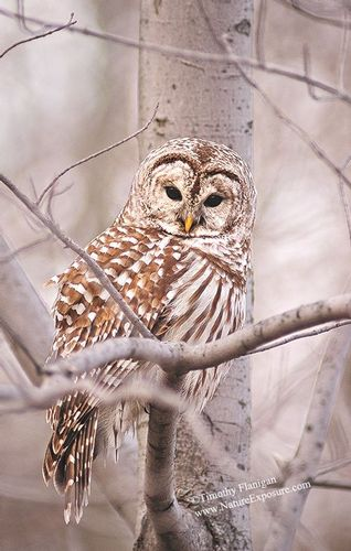 Barred - Fluffed Up Barred Owl - Odd Size - Canvas Only - Contact for price.jpg