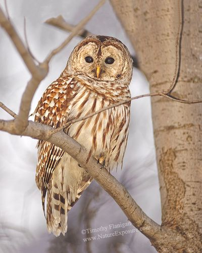 Barred - Perched Barred Owl - RAPOW-0031.jpg