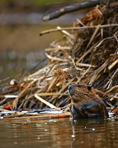 Beaver - Beaver At Home - MAM-A-0015.jpg