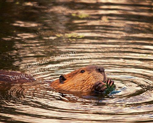 Beaver - Beaver Feeding - MAM-A-0016.jpg