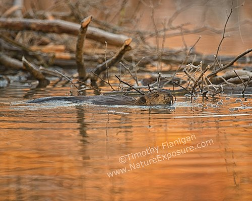 Beaver - Sunset Beaver - MAM-A-0026.jpg