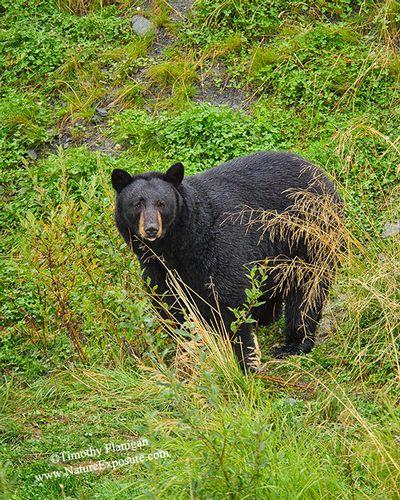 Black Bear - After the Rain Bear - BEA-0079.jpg