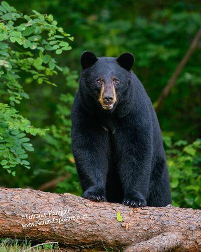 Black Bear - Bear on Downed Tree - BEA-0042.jpg