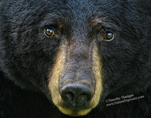 Black Bear - Bears Eye Reflection - BEA-0027.jpg