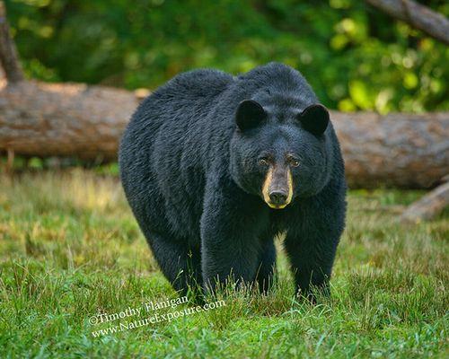 Black Bear - Big Sow Black Bear - BEA-0034.jpg