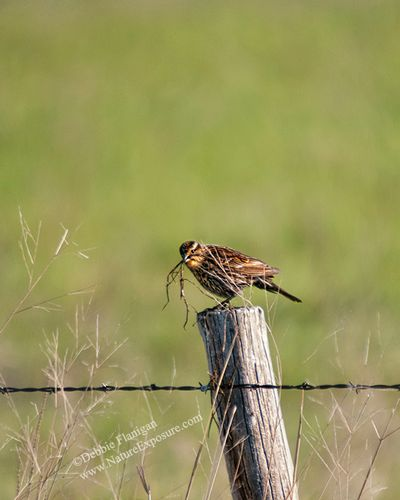 Blackbird - Female Red Winged Blackbird Gathering - SON-0070.jpg