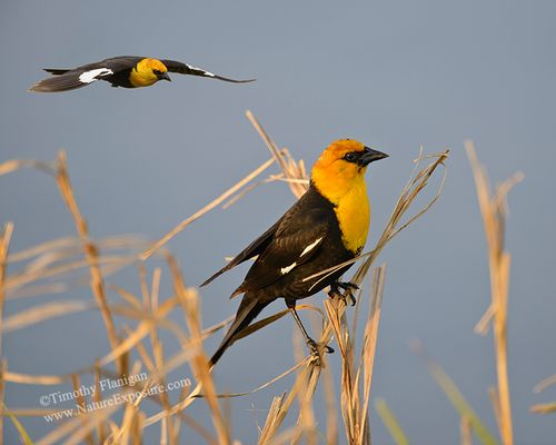 Blackbird - Incoming Yellow-headed Blackbird - SON-0075.jpg