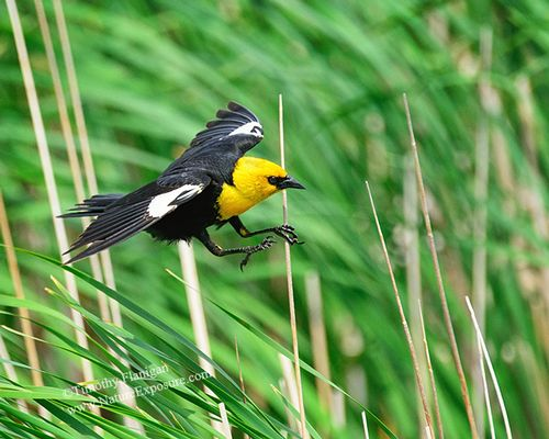 Blackbird - Landing Yellow-headed Blackbird - Timothy Flanigan.jpg
