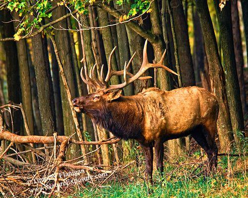 Bugling Bull - ELK-0041.jpg