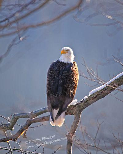 Eagle on Limb - RAPEG-0014.jpg