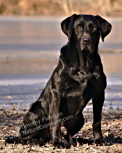 Lab - Black Lab - DOG-0014.jpg