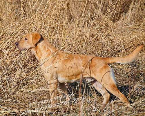 Lab - Yellow Lab on Point - DOG-0017.jpg