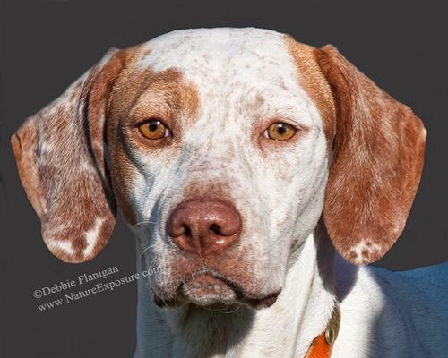 Pointer - English Pointer - DOG-0035.jpg