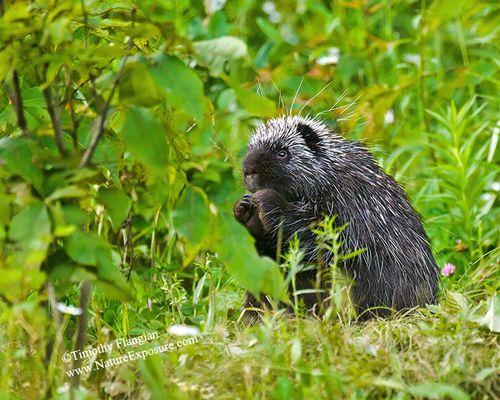 Porcupine - Feeding Porcupine - MAM-H-0013.jpg