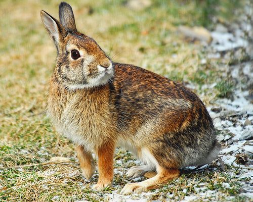 Rabbit - Cottontail - MAM-Q-0026.jpg