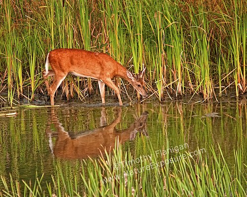 Whitetail Deer - Buck in Velvet Reflection - WBV-0013.jpg