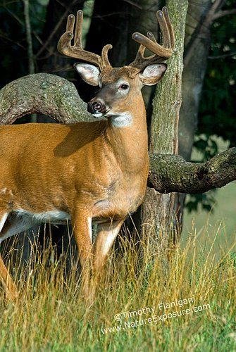 Whitetail Deer - About to Shed - WBV-0011.jpg