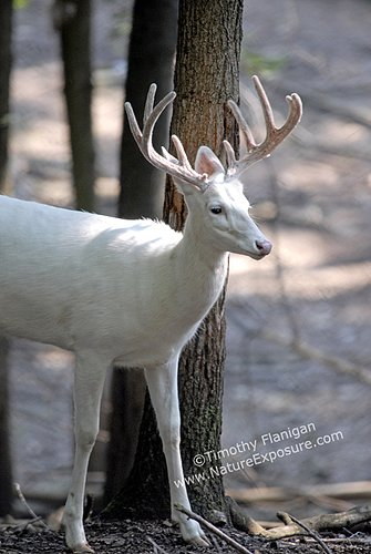 Whitetail Deer - Albino Buck in Velvet - WBV-0012.jpg