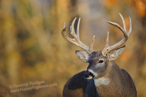 Whitetail Deer - Autumn Backdrop Buck - WHI-0032.jpg